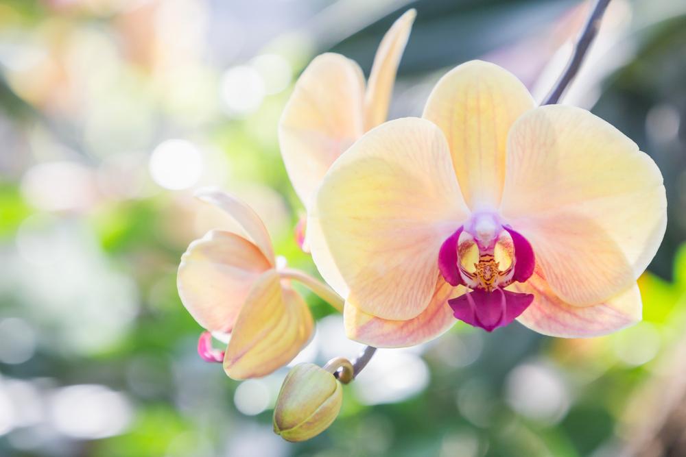 Hoa Phong Lan vàng