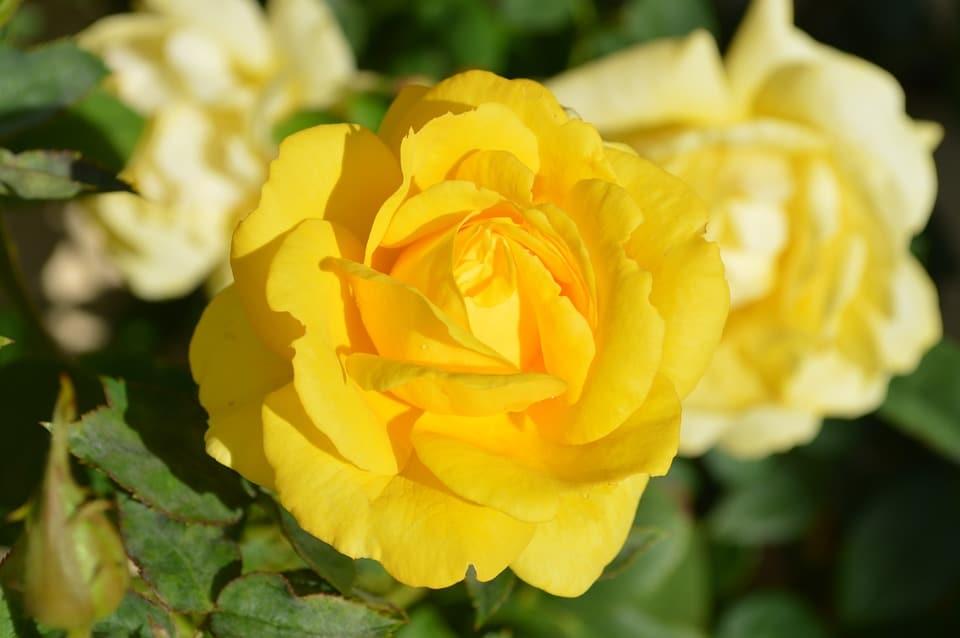 Những hình ảnh đẹp về hoa hồng vàng