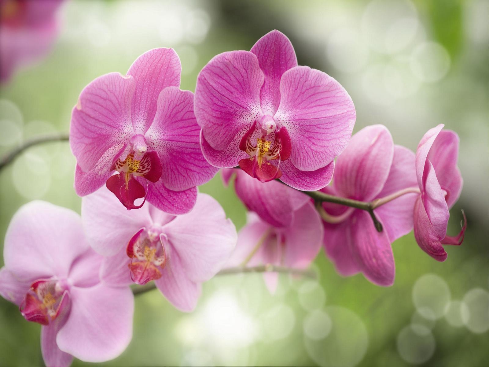 Những hình ảnh đẹp về Hoa Phong Lan