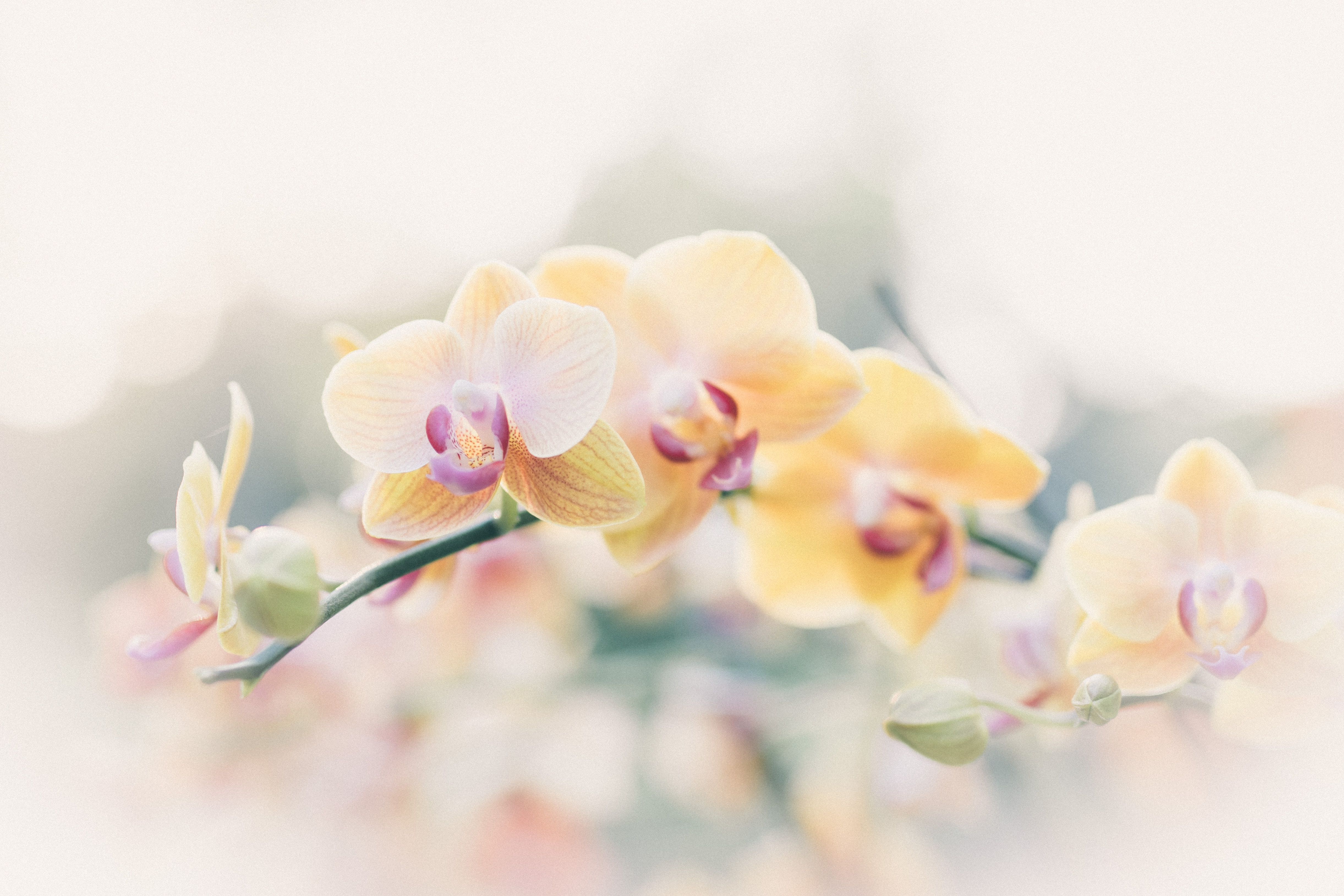 Tổng hợp các loại hoa Phong Lan