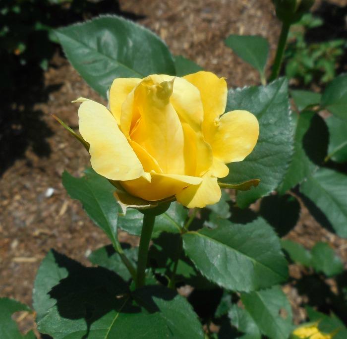 Tổng hợp những hình ảnh hoa Hồng vàng đẹp