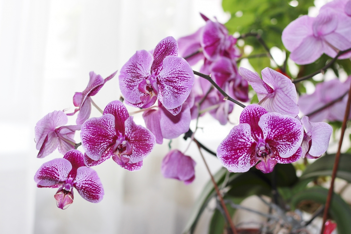 Tổng hợp những hình ảnh hoa Phong Lan đẹp nhất