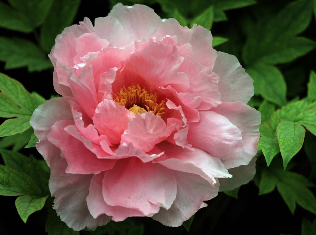 Bông hoa mẫu đơn đẹp