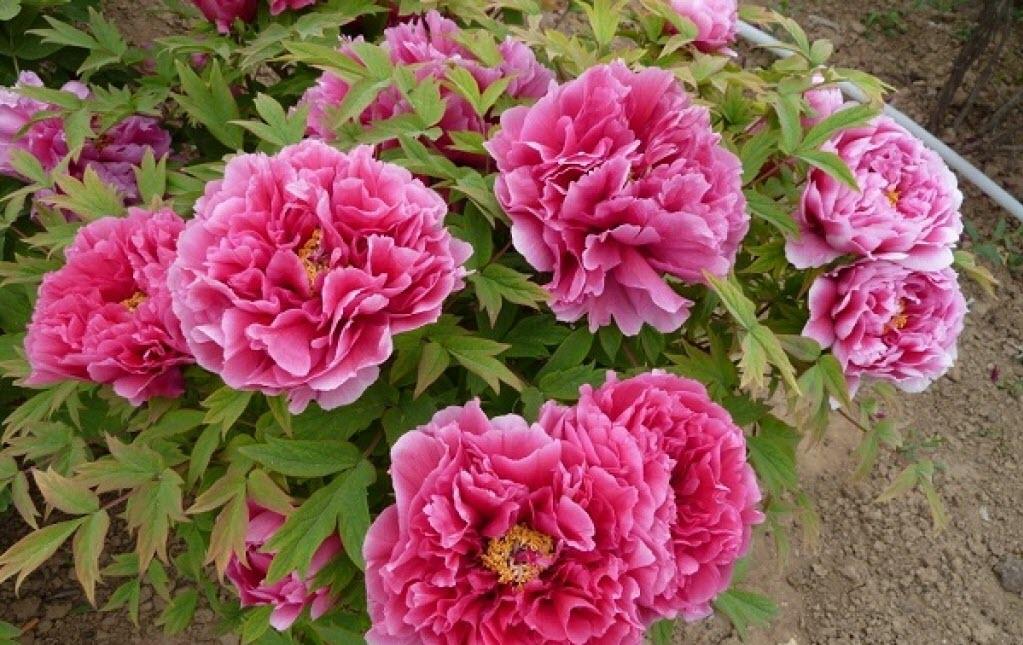 Hình ảnh bông hoa Mẫu Đơn đẹp nhất