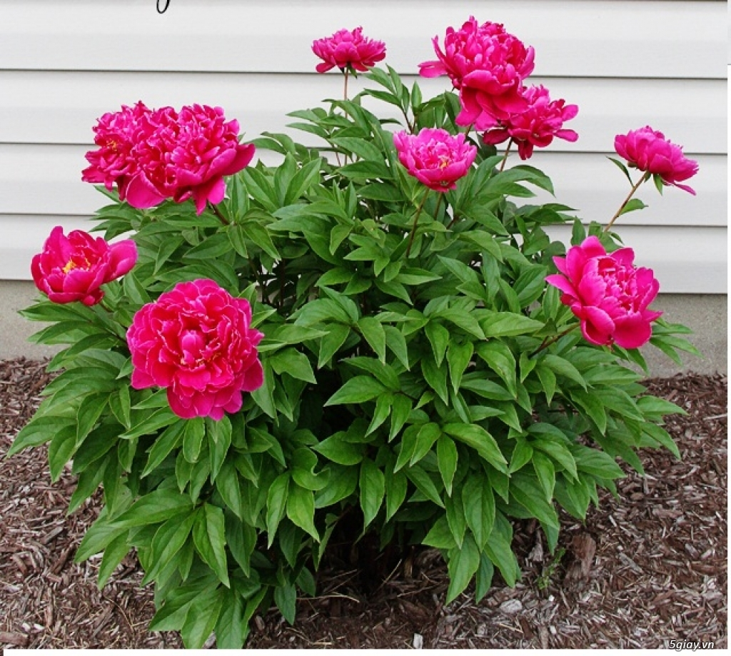 Hình ảnh cây hoa Mẫu Đơn đẹp nhất