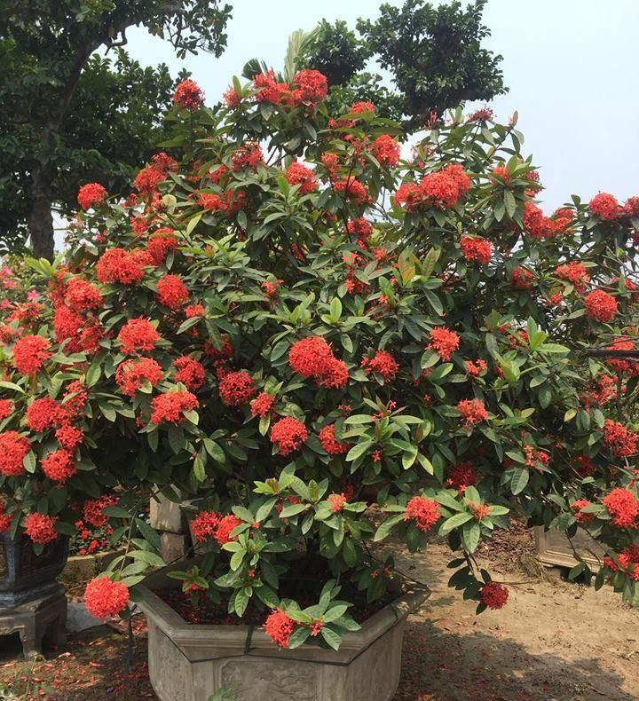 Hình ảnh cây hoa Mẫu Đơn đỏ đẹp