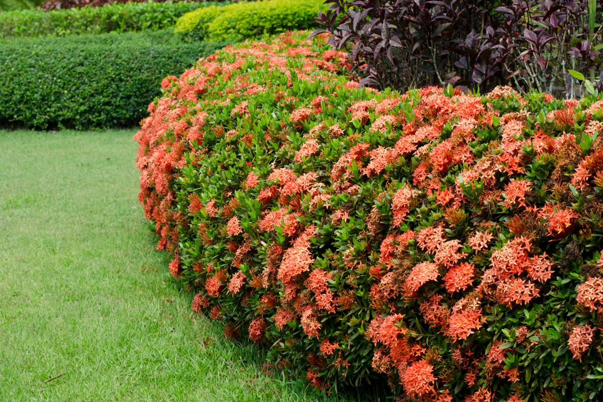 Hình ảnh hàng rào hoa mẫu đơn đẹp