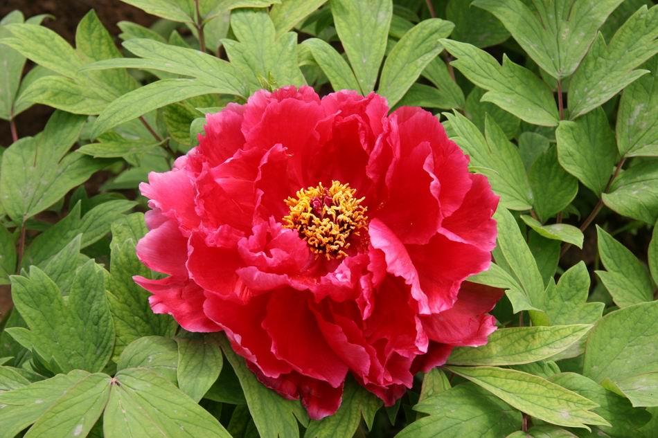 Hình ảnh hoa Mẫu Đơn đẹp nhất