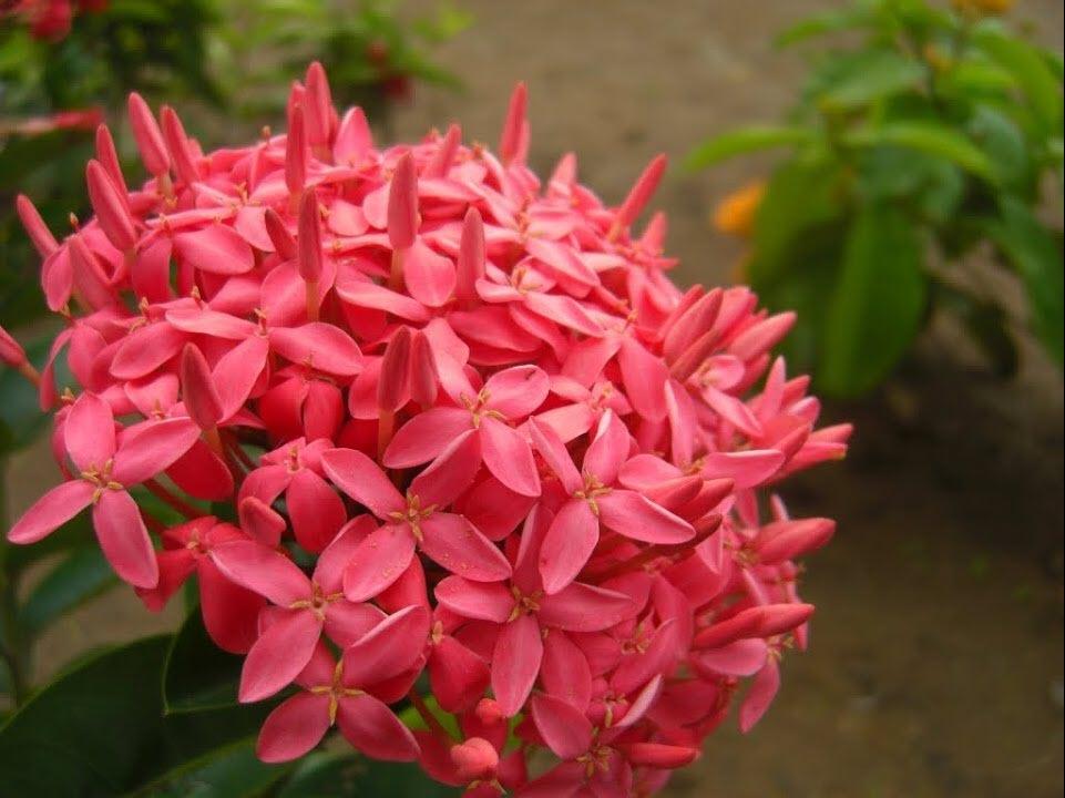 Hình ảnh hoa Mẫu Đơn ta đẹp nhất