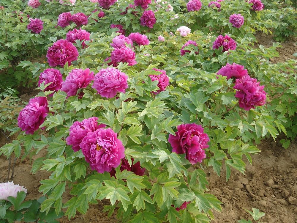 Hình ảnh hoa Mẫu Đơn