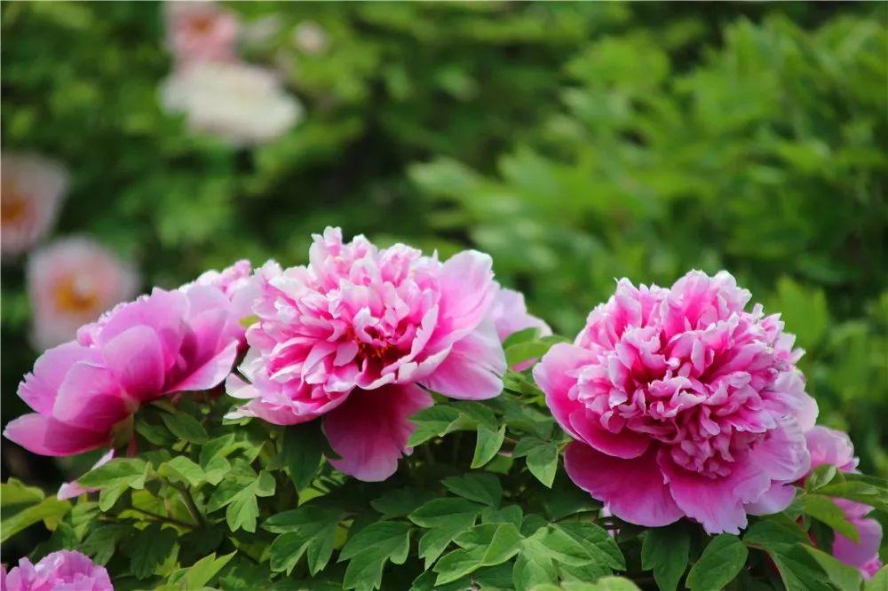 Hình ảnh những bông hoa mẫu đơn đua nhau khoe sắc