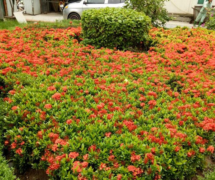 Hình ảnh vường hoa Mẫu Đơn đỏ cực đẹp