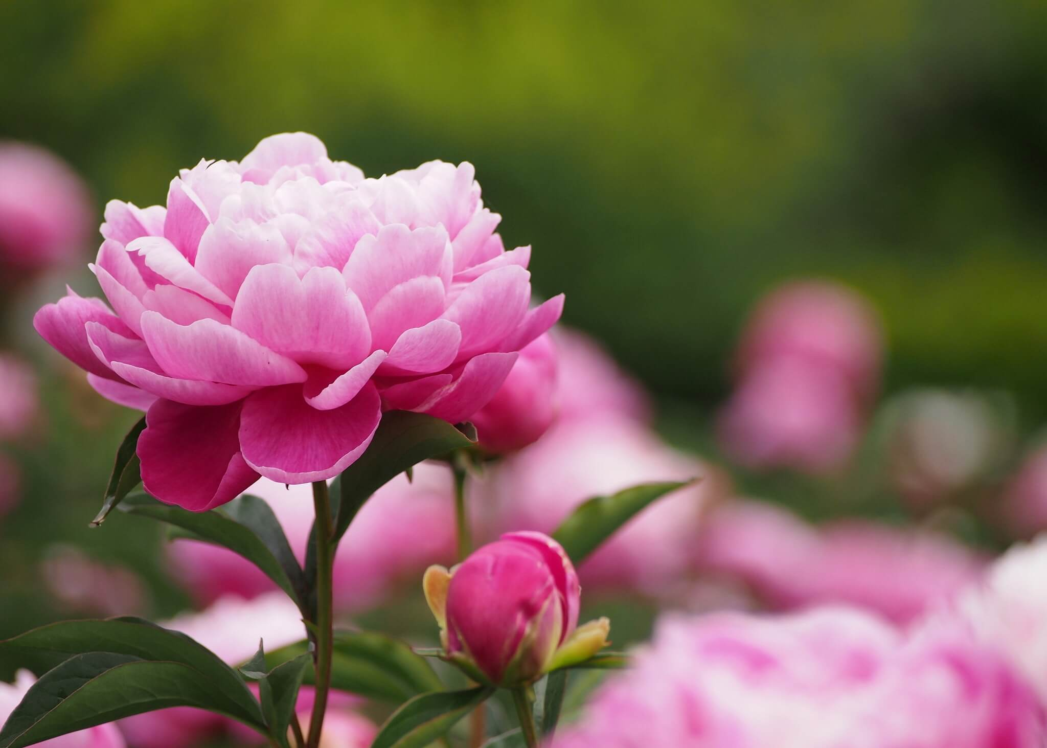 Hình bông hoa Mẫu Đơn đẹp nhất