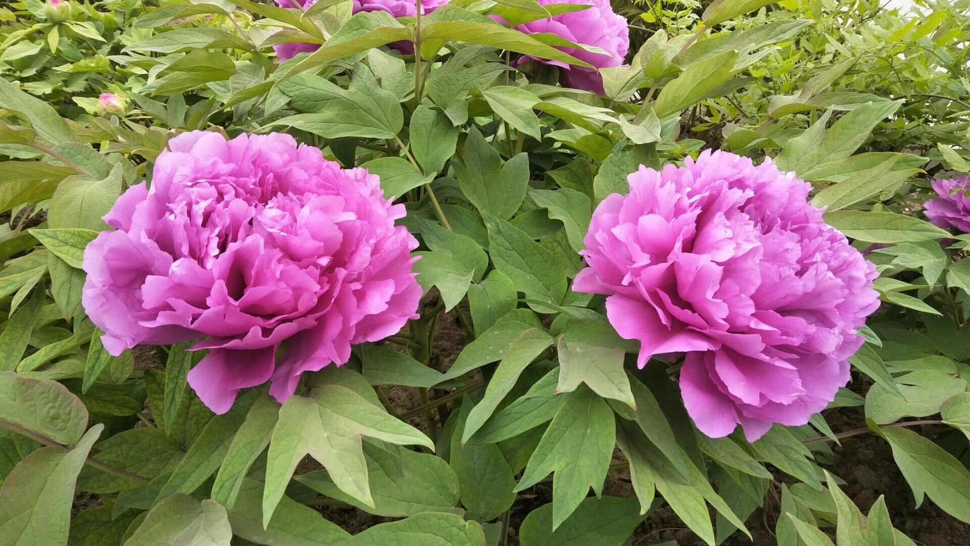 Hình cây hoa mẫu đơn