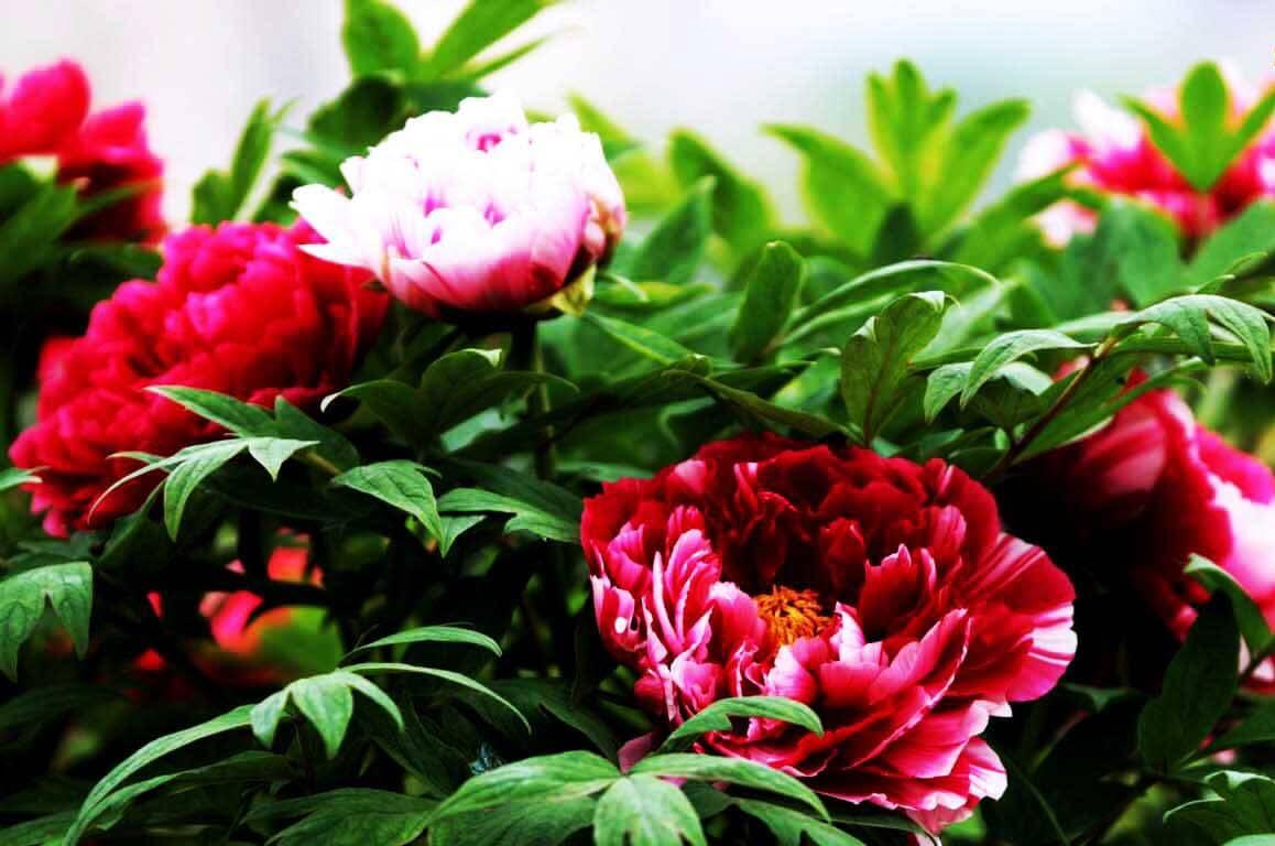 Hình đẹp hoa Mẫu Đơn