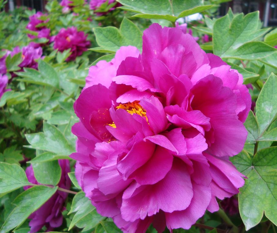 Hoa Mẫu Đơn đẹp