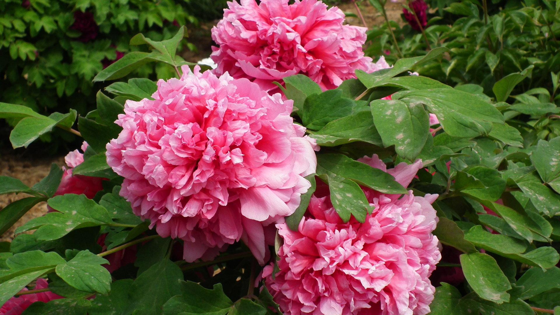 Những bông hoa mẫu đơn đẹp