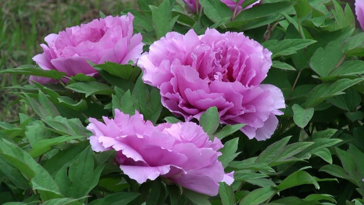 Những hình ảnh hoa Mẫu đơn đẹp nhất
