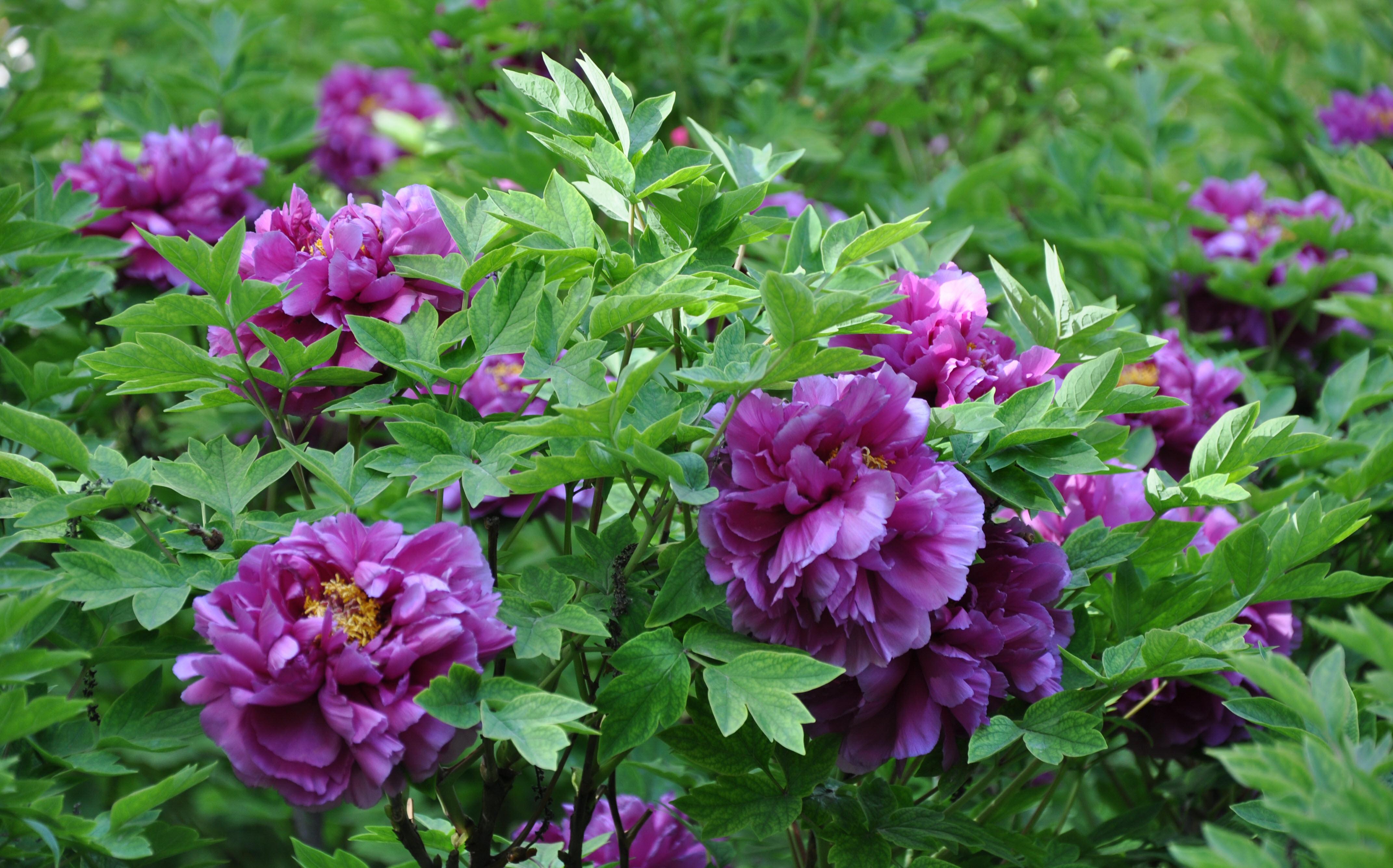 Ý nghĩa loài hoa Mẫu Đơn