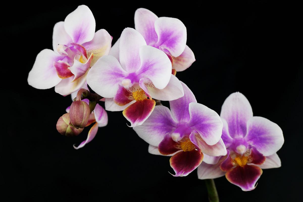 Ảnh đẹp về hoa phong lan Hồ điệp