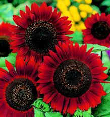 Ảnh hoa hướng dương đỏ đẹp