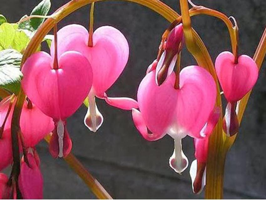 Ảnh hoa lan chuông (hoa Linh Lan) hồng đẹp nhất