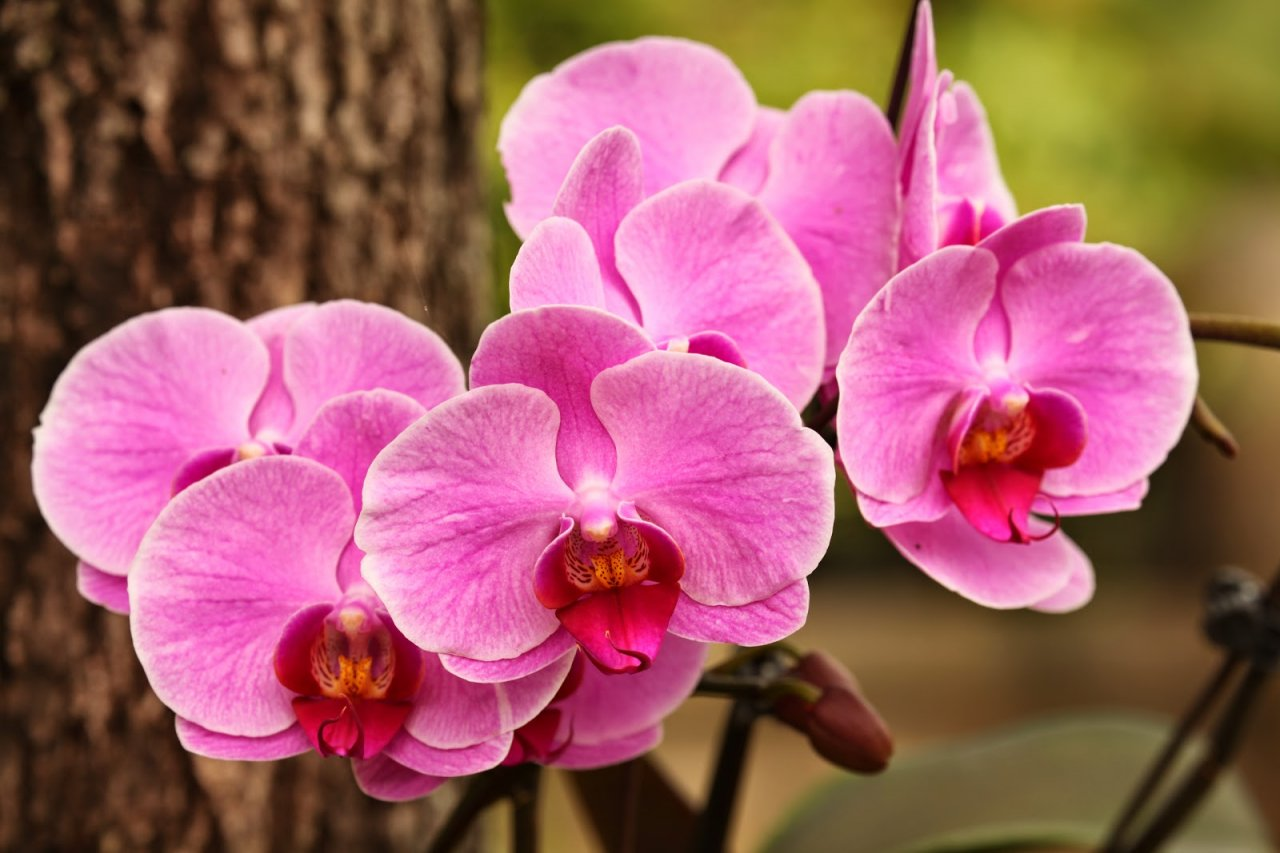 Ảnh hoa Lan Hồ Điệp Đài Loan