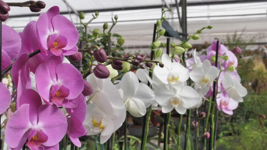 Ảnh Hoa Lan Hồ Điệp hồng và trắng đẹp