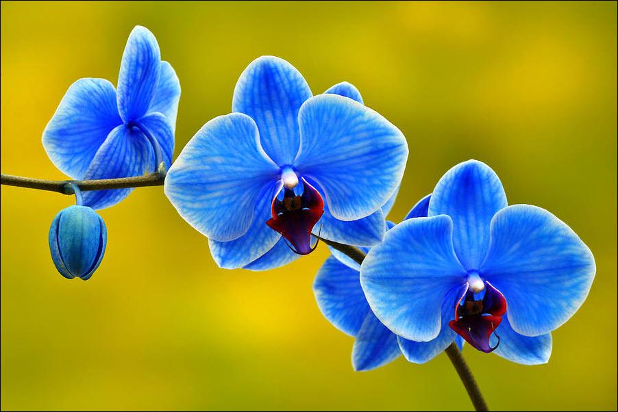Ảnh hoa lan hồ điệp màu xanh dương đẹp