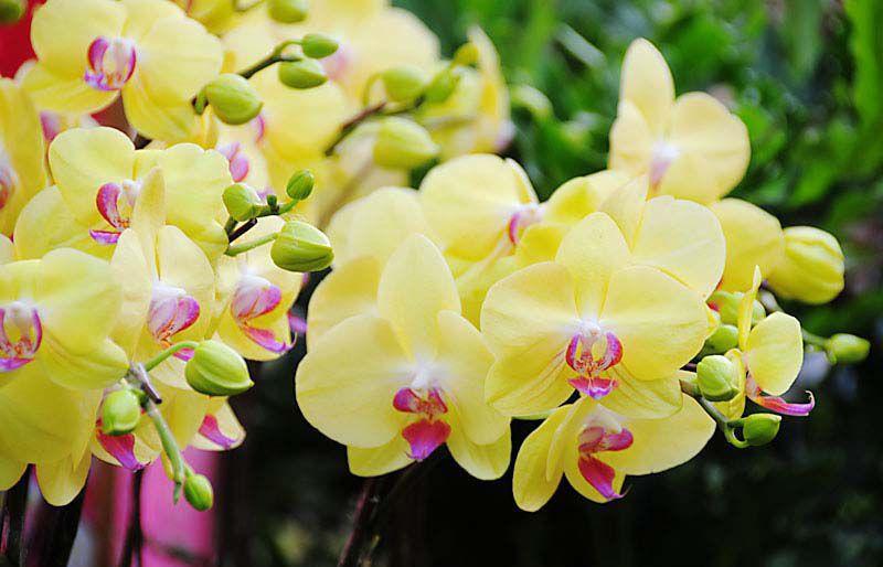 Ảnh hoa Lan Hồ Điệp vàng đẹp nhất