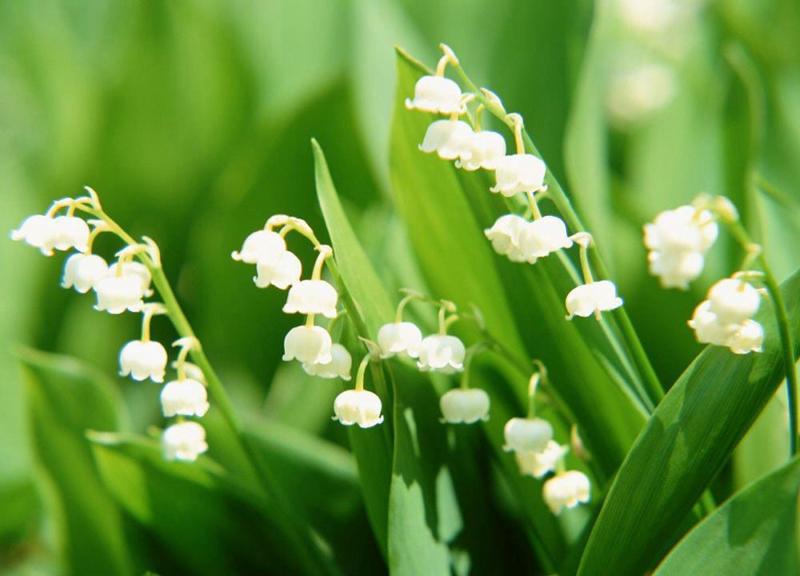 Ảnh hoa Linh Lan đẹp tinh khiết và trong trẻo