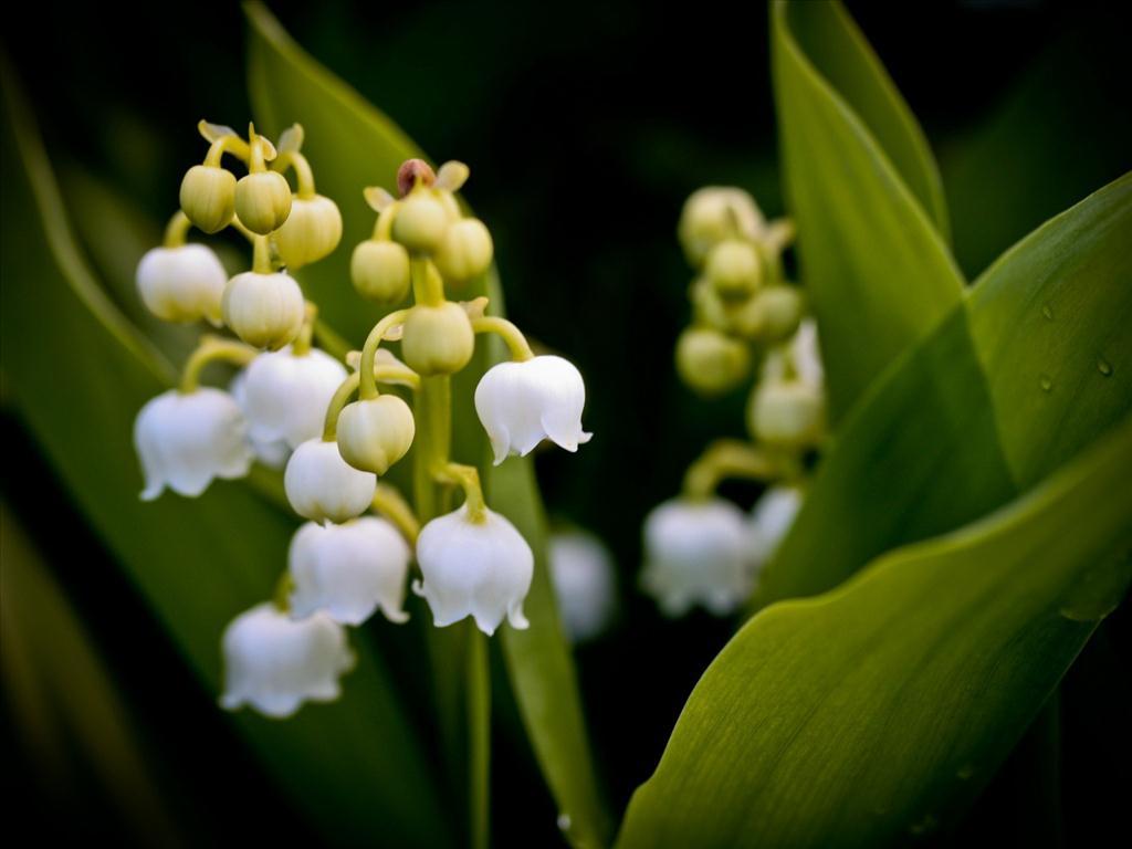 Ảnh hoa Linh lan (Lily of the valley) đẹp nhất