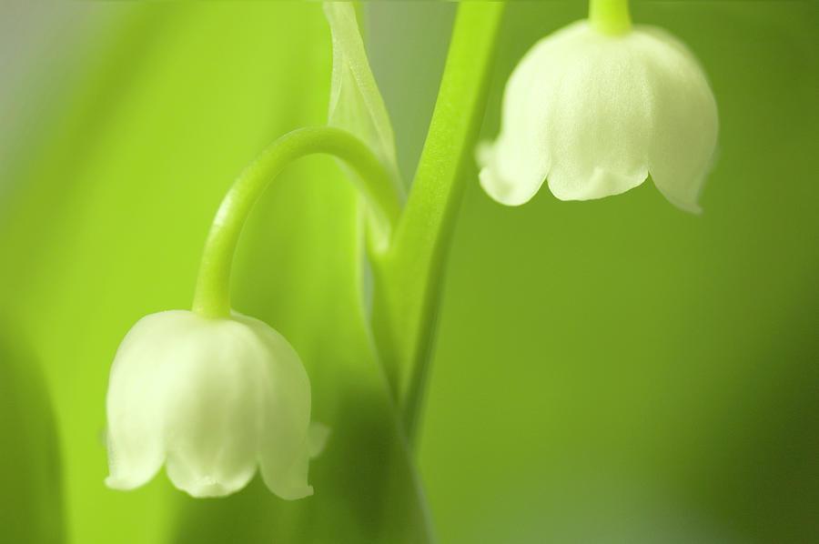 Ảnh vẻ đẹp khó cưỡng của hoa Linh lan trắng đẹp