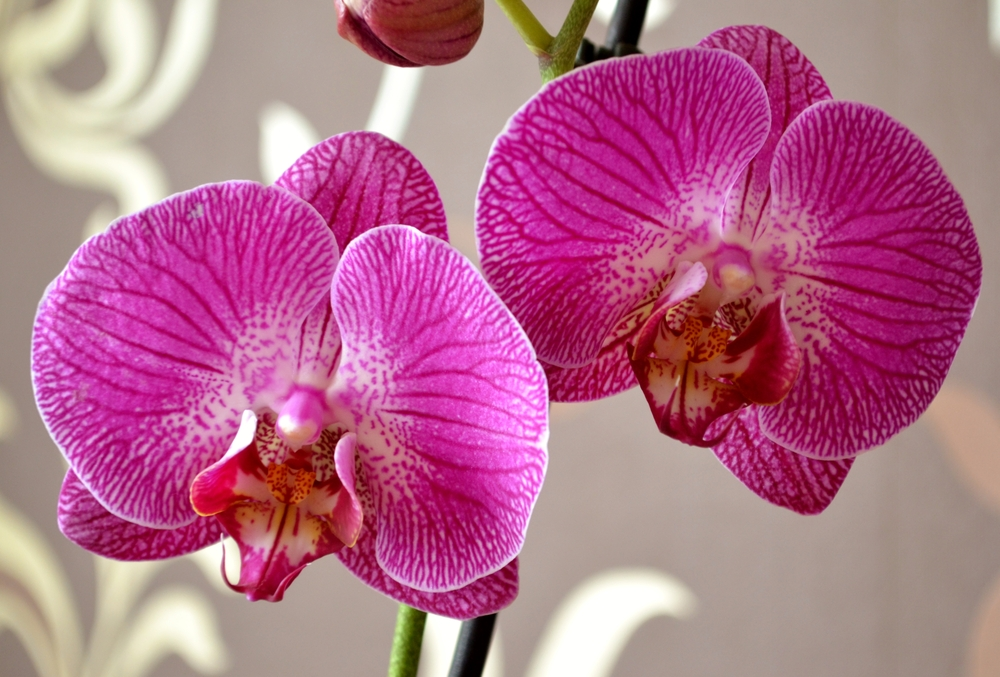 Hình ảnh ấn tượng và đẹp nhất về hoa Lan Hồ Điệp