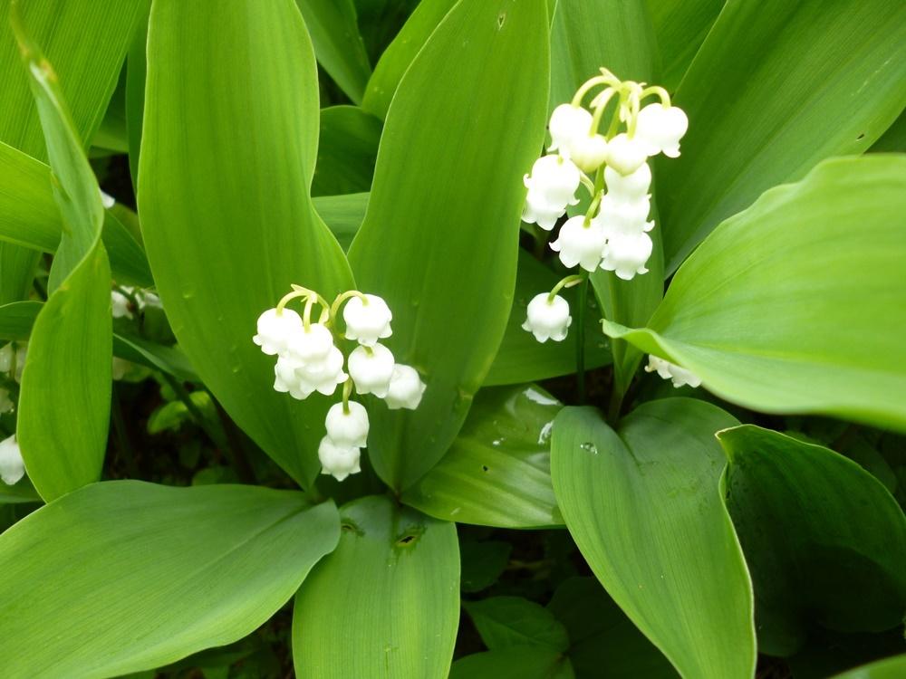 Hình ảnh cận cảnh hoa linh lan đẹp