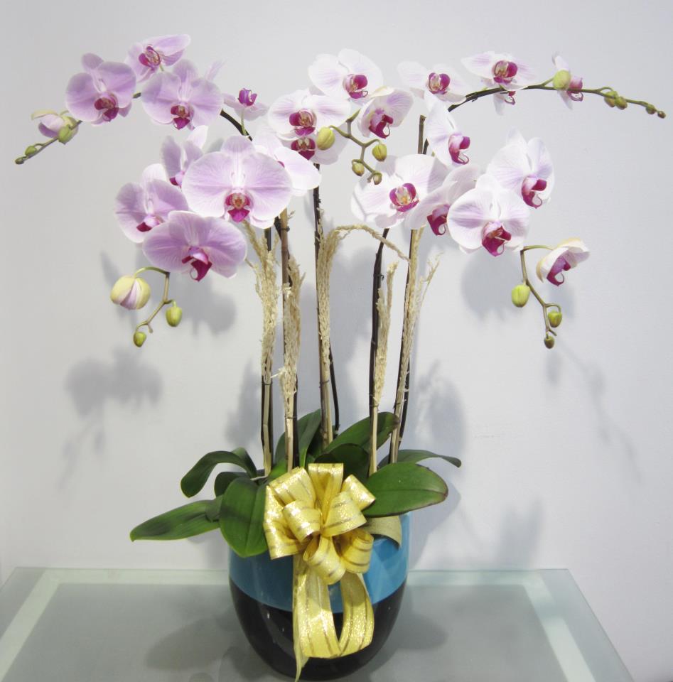 Hình ảnh chậu hoa Lan Hồ Điệp đẹp nhất