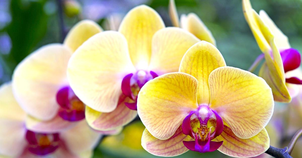 Hình ảnh đẹp nhất về hoa Lan Hồ Điệp vàng