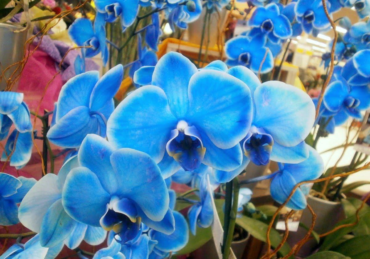 Hình ảnh đẹp về hoa Lan Hồ Điệp màu xanh dương