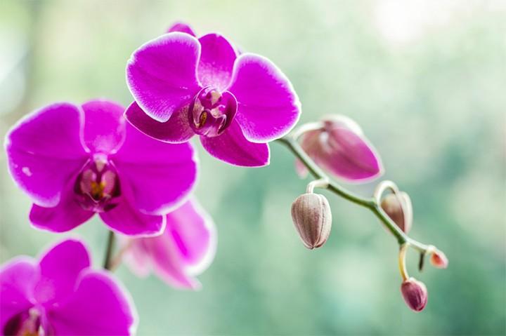 Hình ảnh đẹp về hoa Lan Hồ Điệp
