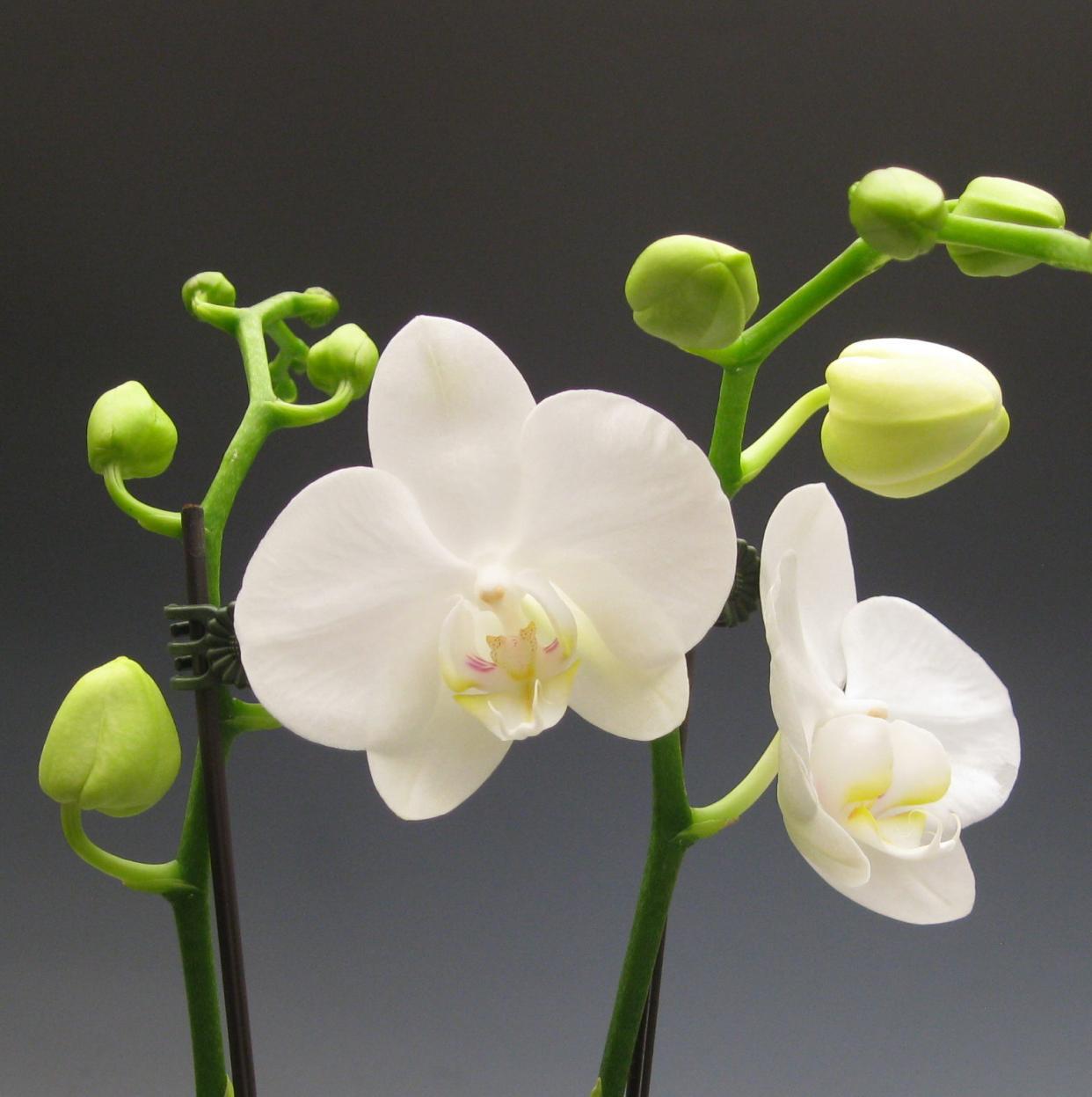 Hình ảnh đẹp về hoa phong lan Hồ Điệp trắng đẹp nhất