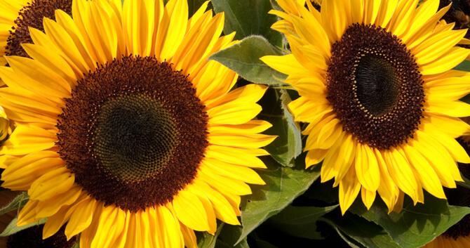 Hình ảnh hình nền hoa hướng dương