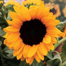 Hình ảnh hoa Hướng dương đep