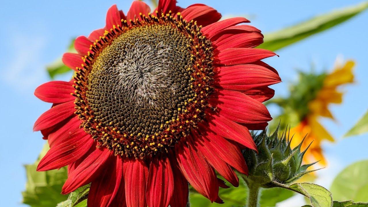 Hình ảnh hoa hướng dương đỏ đẹp nhất