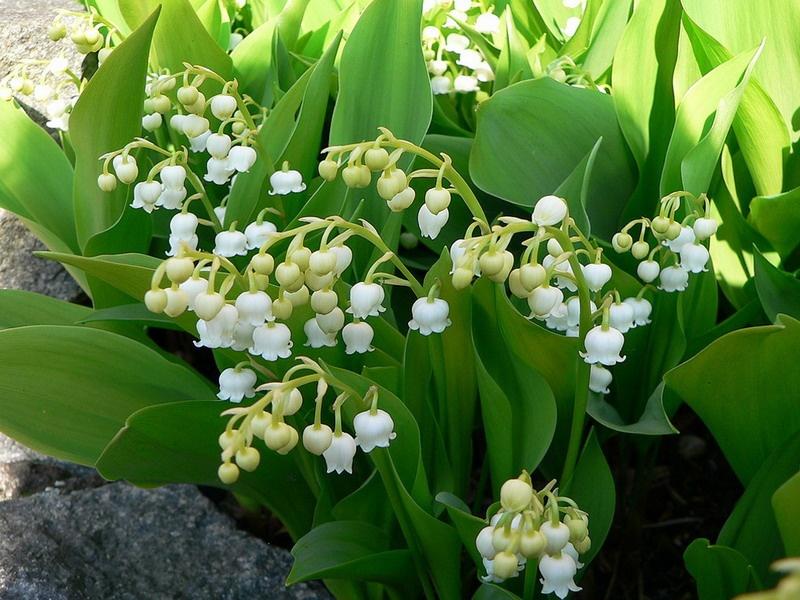 Hình ảnh hoa Lan chuông vàng trắng (hoa Linh Lan)