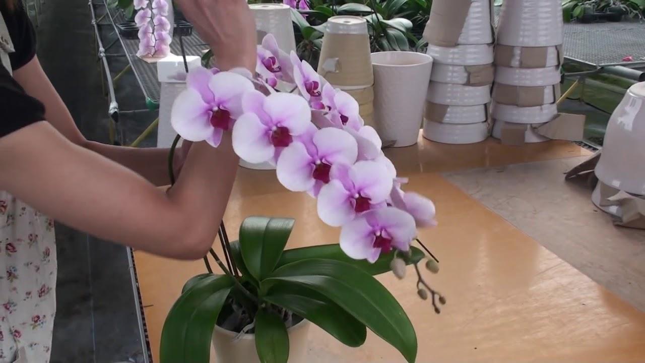 Hình ảnh hoa Lan Hồ Điệp Đài Loan đẹp nhất