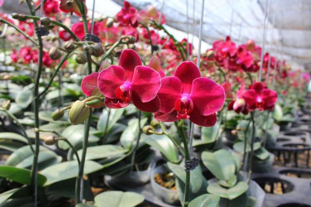 Hình ảnh hoa Lan Hồ Điệp đỏ đẹp nhất