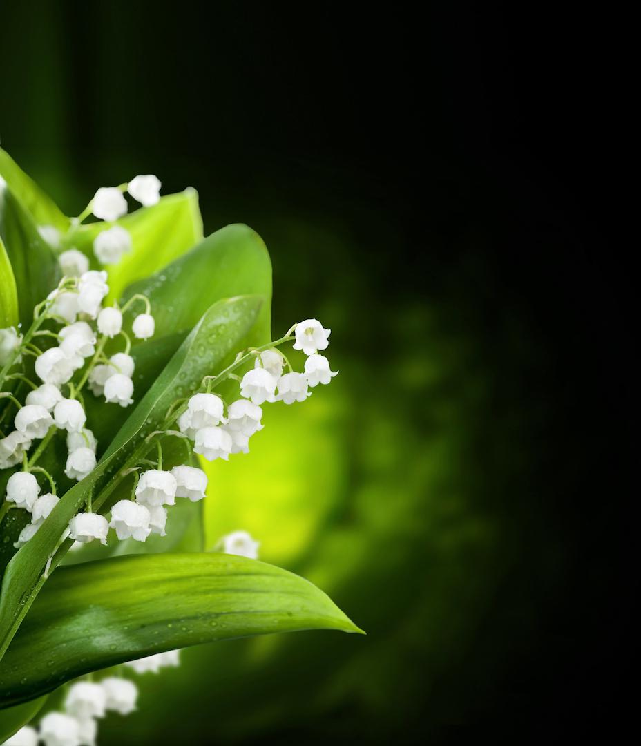 Hình ảnh hoa Linh Lan (hoa Lan chuông) đẹp nhất