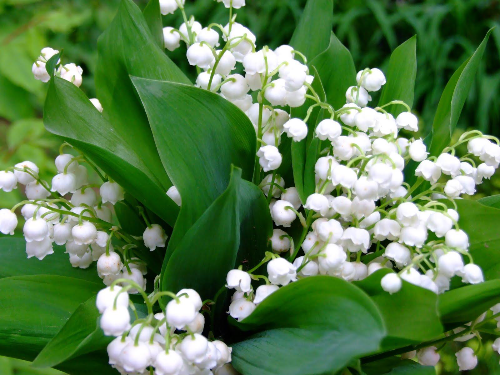 Hình ảnh hoa linh lan trắng đẹp khó cưỡng