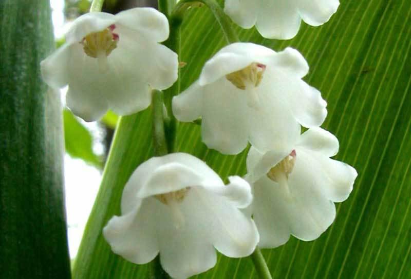 Hình ảnh hoa Linh Lan trắng tinh khiết và đẹp nhất