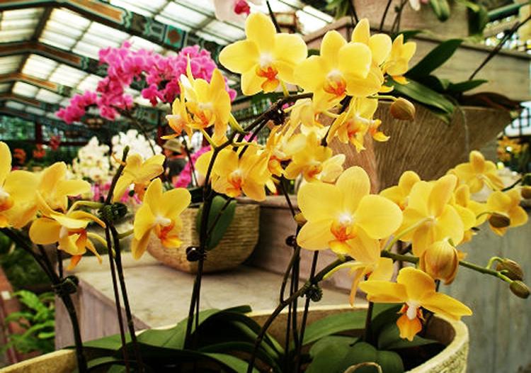 Hình ảnh hoa phong lan Hồ Điệp vàng đẹp nhất
